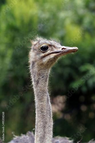 Staande foto Struisvogel ostrich (struthio camelus)