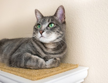 Cute Gray Tabby Cat With Green Eyes