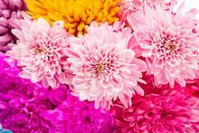 Sweet Color Chrysanthemums  Fo...