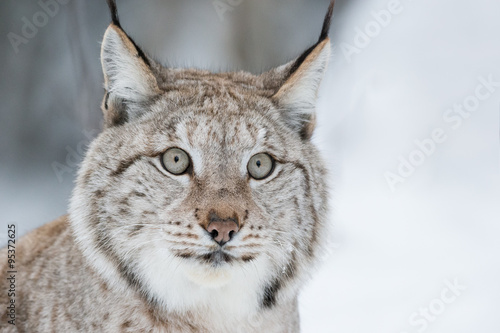 Foto op Plexiglas Lynx Lynx Close Up