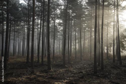 Spoed Foto op Canvas Grijze traf. Pine forest Autumn Fall landscape foggy morning
