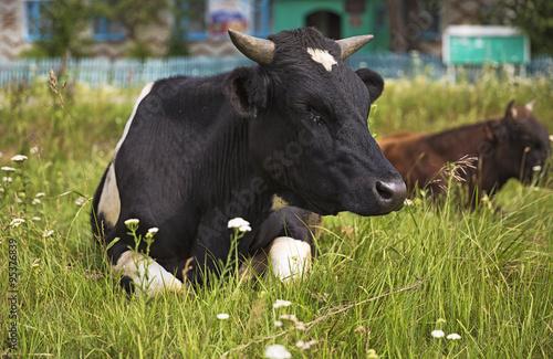 Keuken foto achterwand Buffel Животное бык