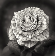 Beautiful Black And White Rose...