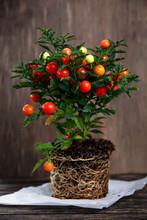 Winter,  Christmas Cherry Plant Solanum