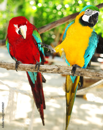 Two beautiful carribean maccaws on exotic beach at Saona island #95401867