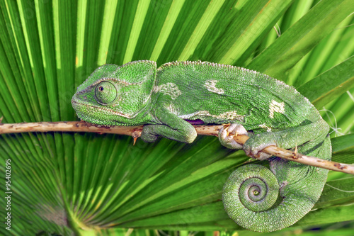 Photo sur Aluminium Cameleon green chameleon - Stock Image