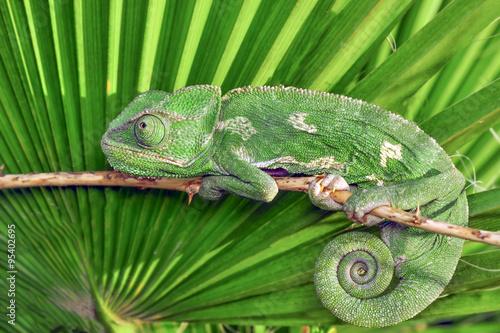 Stickers pour porte Cameleon green chameleon - Stock Image