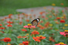 A Beautiful Pink Flower With Butterfly In The Park