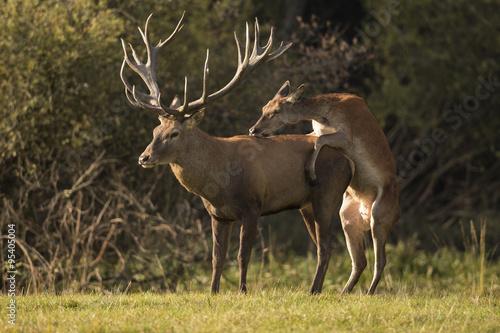 Poster Cerf Red deer/deer/Czech Republic