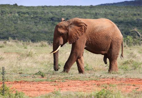Wild Bull Elephant in Addo National Park