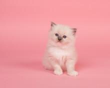 Cute Sitting Rag Doll Kitten B...
