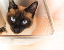 Kot Syjamski W Biurowym Koszu Na śmieci