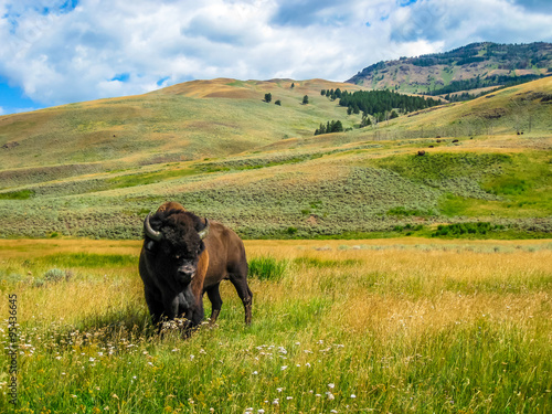 Foto op Aluminium Bison Bison in Yellowstone National Park