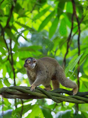 Lemur in Madagascar Plakát