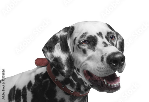 Poster Chien Portrait of a black and white spotted dalmatia