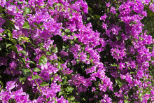 Awesome Bougainvillea Flowers Of Bodrum Turkey