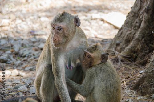 In de dag Monkey , Crab-eating macaque