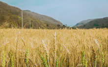 Barley Field At Pang Mapha District