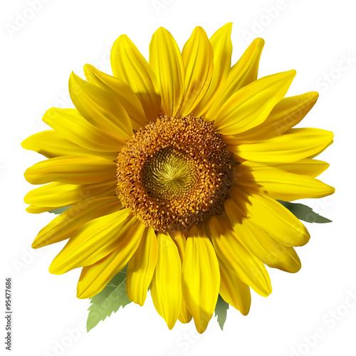 Fotografie, Obraz  Sunflower - Heliantus