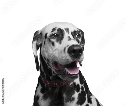 Poster Chien Portrait of a happy and laughing dog breed Dalmatian