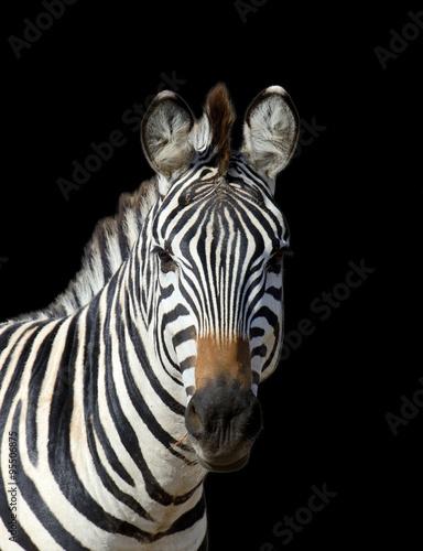 In de dag Zebra Zebra on dark background