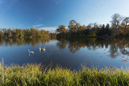 Poster Rivière de la forêt Swans on a pond. autumn Landscape