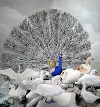 Stand Out Of The Crowd - The Blue Peacock