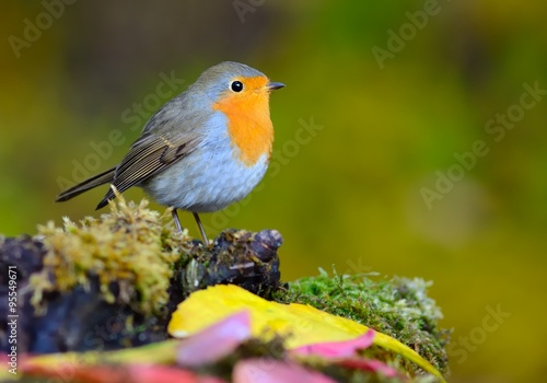 European robin (Erithacus rubecula) on the moss Poster
