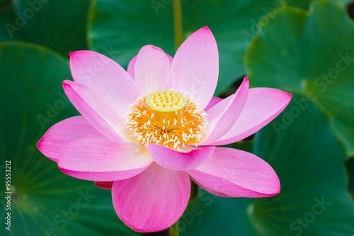 Lotus Flower Symbol Of Purity Symbol Of Buddhism Nelumbo Lotus