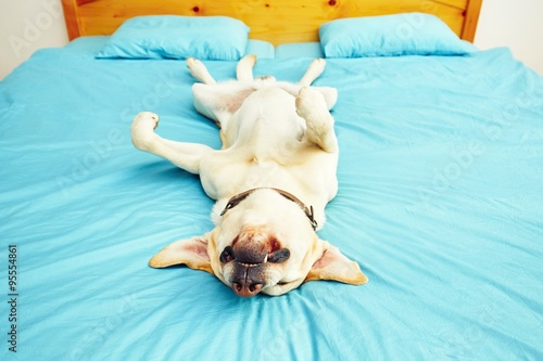 Poster Chien Dog is lying on the bed