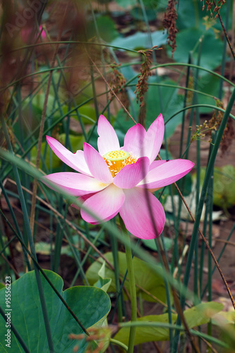 Lotus flower rare flower ancient flower symbol of purity symbol lotus flower rare flower ancient flower symbol of purity symbol of buddhism mightylinksfo
