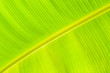 canvas print picture - a big banana leaf glowing in the sun