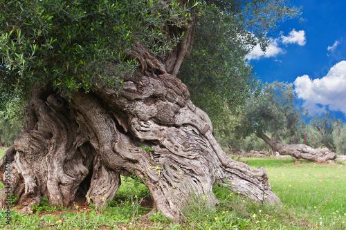 Foto op Plexiglas Olijfboom secular olive tree