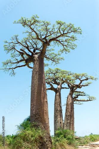 Keuken foto achterwand Baobab Baobab Alley - Madagascar
