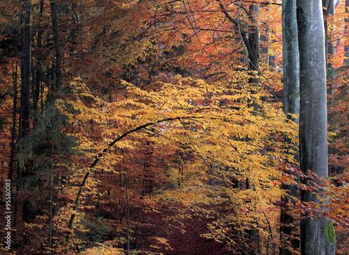 Piękno Jesiennego Bukowego Lasu - 95580083