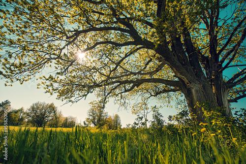 Foto op Plexiglas Landschappen Big tree in a field