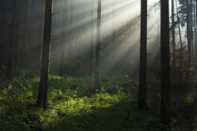 Spectacular Sun Rays Inside The Forest. When The Fog Was Lifted