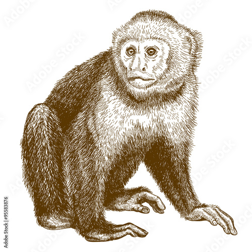engraving antique illustration of capuchin Canvas Print