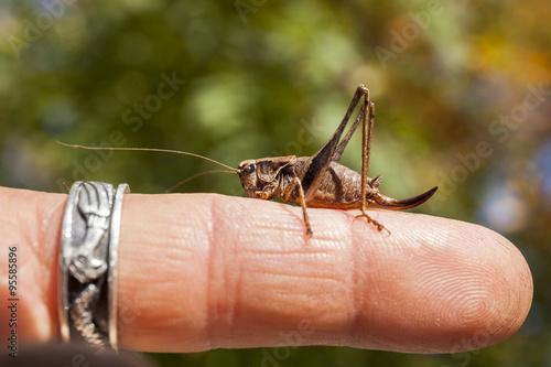 Fotografie, Obraz  Grillo storpio adagiato sul dito di una mano