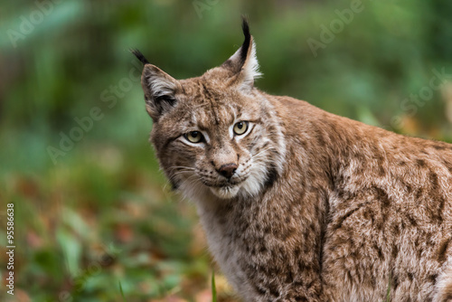 Fotobehang Lynx Luchs im Wald