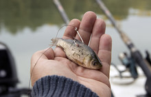 A Live Bait For Pike Fishing