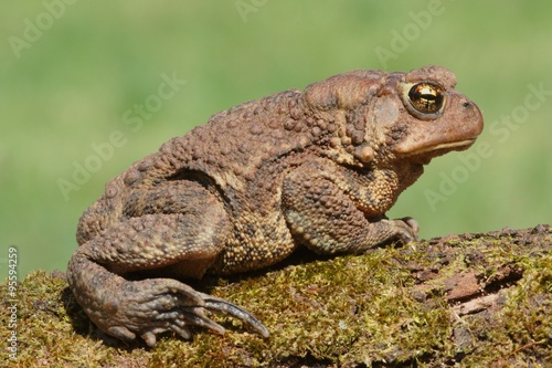 fototapeta na drzwi i meble Female American Toad (Bufo americanus)