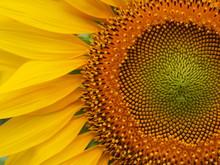 Closeup Sunflower Nature Background