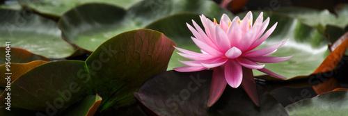 Staande foto Waterlelies Water Lily Pink