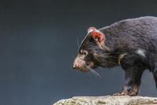Tasmanian Devil Close Up