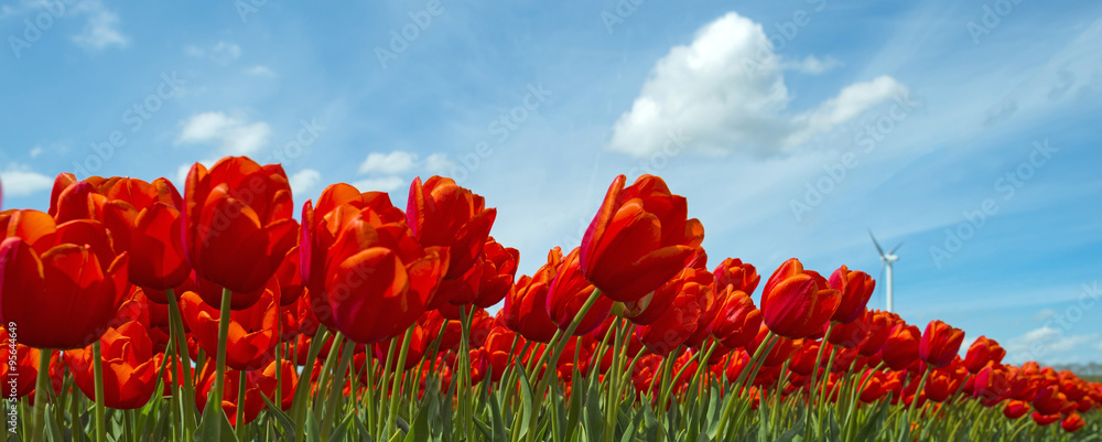 Red tulips in a sunny field in spring