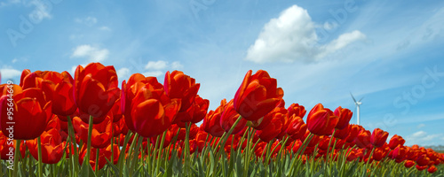 Red tulips in a sunny field in spring - 95644649