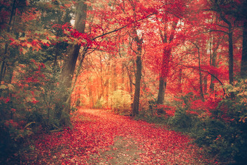 Fototapeta Magical forest with autumn colors and red leaves