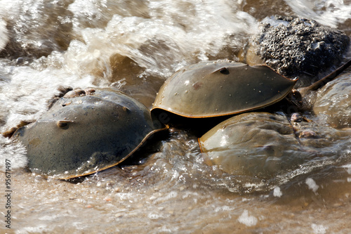 Photo  Horseshoe Crab (Limulus polyphemus) on New Jersey beaches along the Delaware Bay