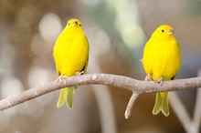 2 Yellow Birds On A Branch